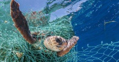 Meeresschildkröte im Netz