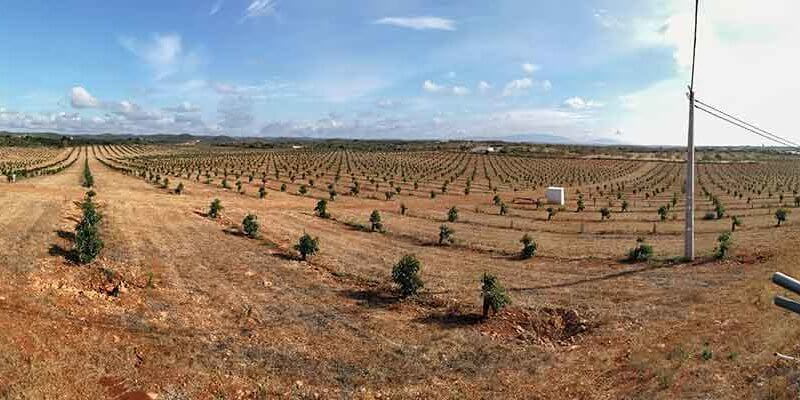 Avocado Plantage Algarve