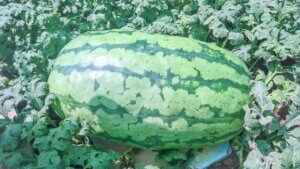 50 kg Wassermelone