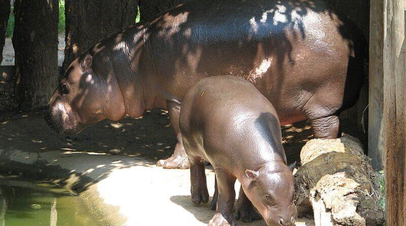 Flusspferd mit Kalb