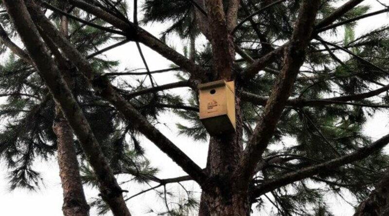 Vogelnester in Pinien