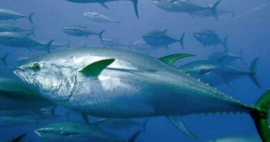 Blauflossen-Thunfisch